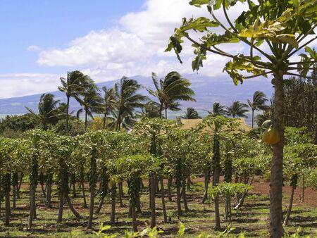 Tropical orchard in Maui, Hawaii