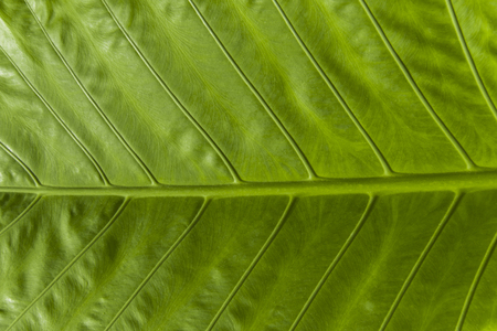 Close up of green elephant ear leaf.