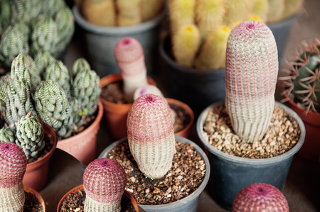 Cactus cultivation in plastic pot at the tree market. Cactus in pot decoration with pebble.