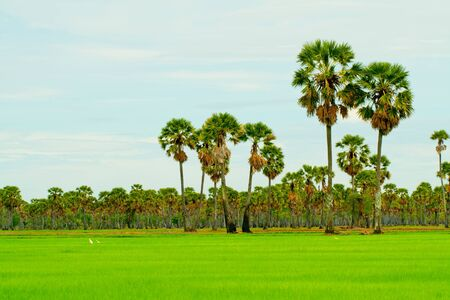 Rice farm wint palm trees, Thailand