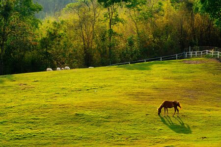 horse eating grass on the field Thailand