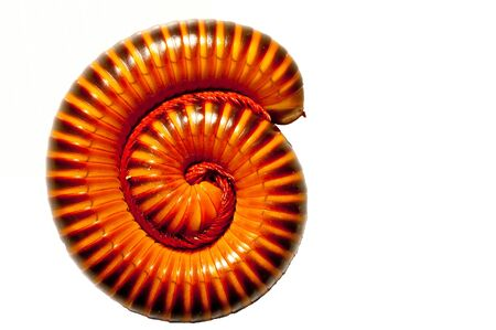Millipede is sleeping on White background  Stock Photo