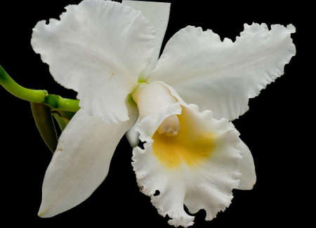 blooming orchid on black background photo