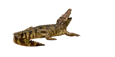 crocodile is  lying on white background , thailand Stock Photo