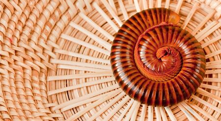 spiral of millipede in the  handmade basket photo