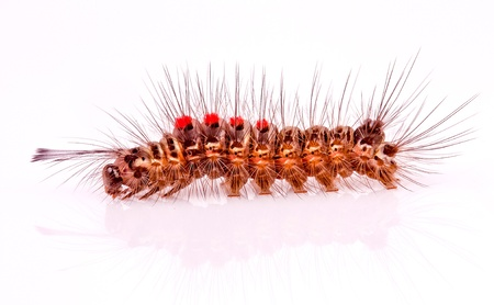 crawly: caterpillar on white background
