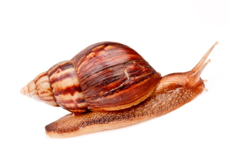 gastropod  snail  in isolated on white background Stock Photo