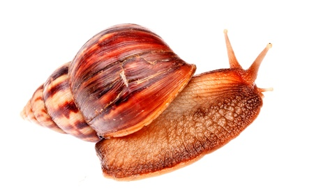 slithery: gastropod  snail  in isolated on white background Stock Photo