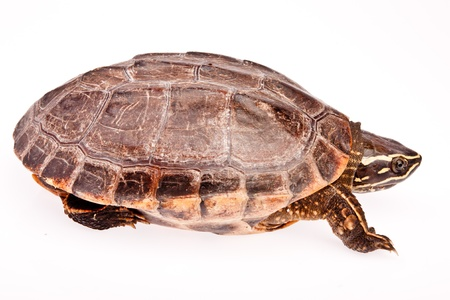 turtle in isolated on white background