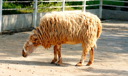 a sheep is standing in farm Stock Photo