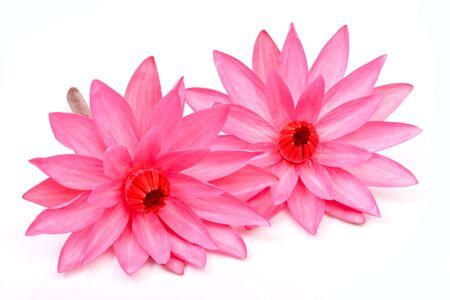 beautiful blooming lotus on white background Stock Photo