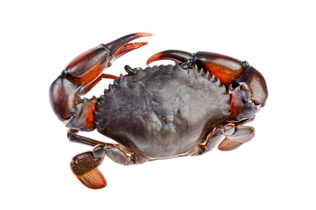 sea crab  in isolated on white background photo