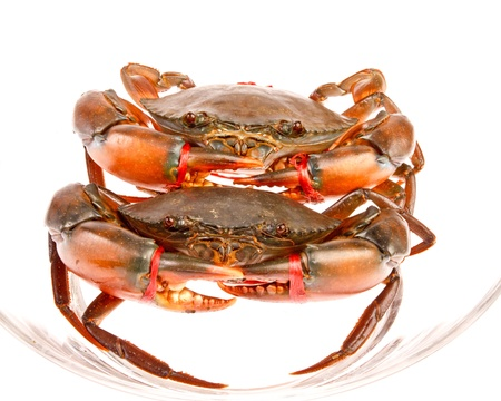 blue swimmer crab: sea crabs in isolated on white background