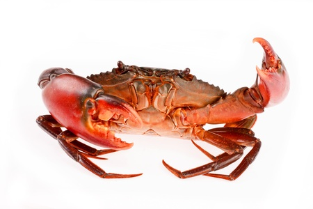 blue swimmer crab: sea crab  in isolated on white background