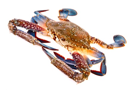 blue swimmer crab: Blue crab in isolated on white background Stock Photo