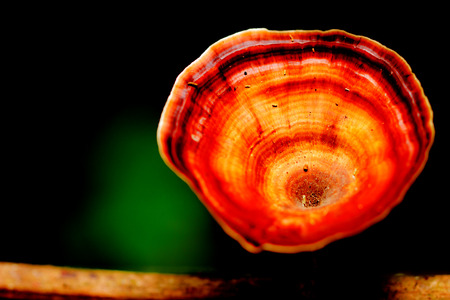 lucidum: beautiful  mushroom forest in close up style , Kanjanaburi forest, Thailand