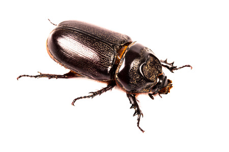 black beetle in isolated on white background Stock Photo