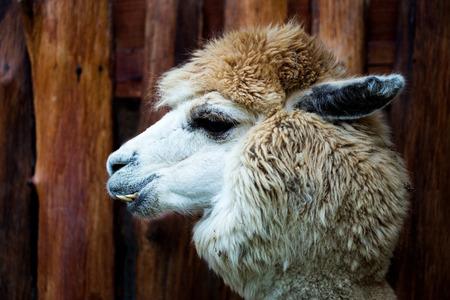 alpaca animal: face of alpaca animal in close-up