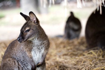 wallaby is sitting on  straw