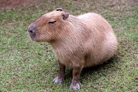 capybara is sitting on ground