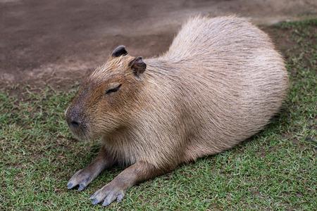 capybara is sleeping on ground Stock Photo