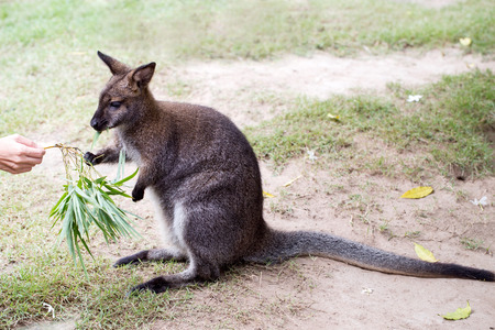 gril: a gril is feed meal to wallaby kangaroo