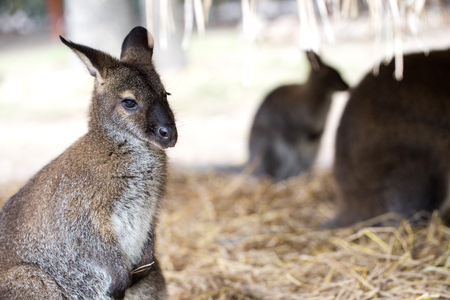 wallaby kngaroo  is sitting on  straw 免版税图像