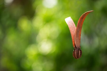 Beautiful alatus seed is  flying on air Stock Photo