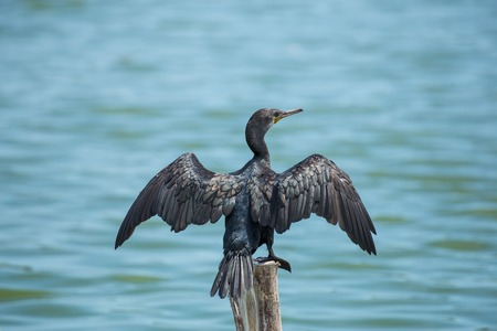 black cormorant bird  sit on log wood  in  water Banque d'images
