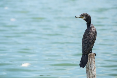 black cormorant bird  sit on log wood  in  water Stock Photo