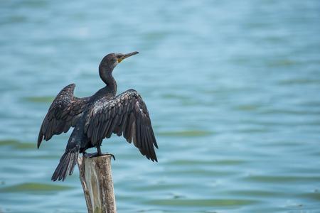 cormorant bird  sit on log wood  in  water Stock Photo