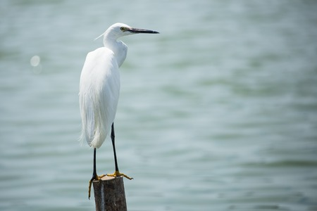 white egret bird on log of wood in water Stock Photo