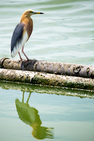 Pond heron bird stand on log wood in water