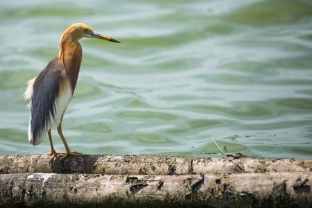 Pond heron bird stand on log wood in water 免版税图像 - 64448366
