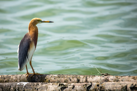 Pond heron bird stand on log wood in water 免版税图像 - 64448417