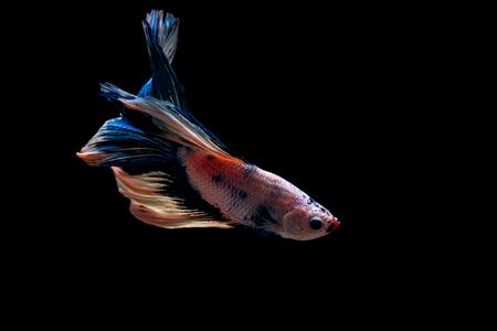 Beautiful siam fighting fish on black background 免版税图像 - 110598457