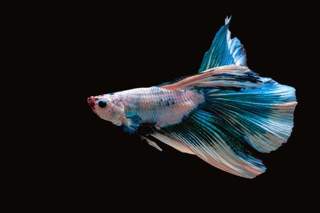 Beautiful siam fighting fish on black background 免版税图像 - 110598460