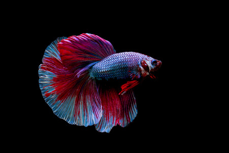 Beautiful siam fighting fish on black background