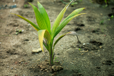 young coconut tree is planting in soil 免版税图像 - 110598498
