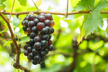 Red grapes on its tree