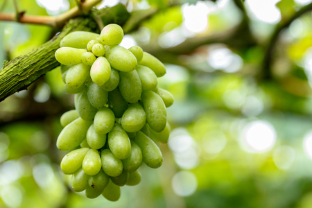 Green grapes on its tree