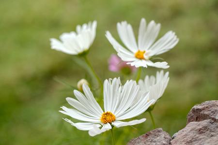 beautiful white flowers on green grass 免版税图像