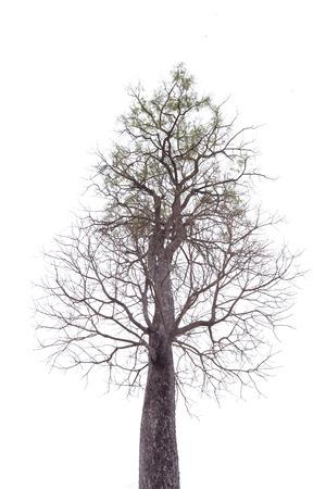 Bic tree no  leaves on white background 免版税图像 - 110598626