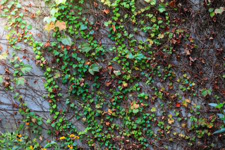 colorful  vine  leaves on old concrete  wall use for background 免版税图像 - 121005636