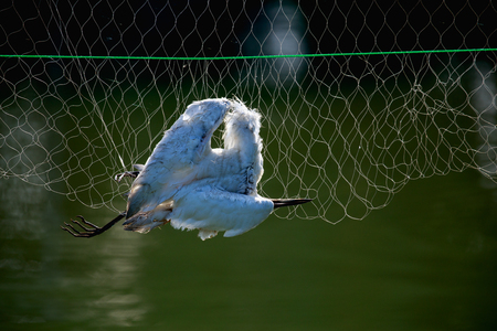 Bird caught the net and died over the fish pond of fishermen 免版税图像 - 121005718