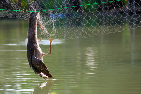 Bird caught the net and died over the fish pond of fishermen 免版税图像 - 121005719