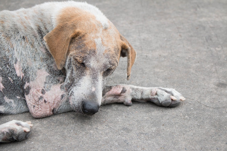 stray: Stray dog with skin infection