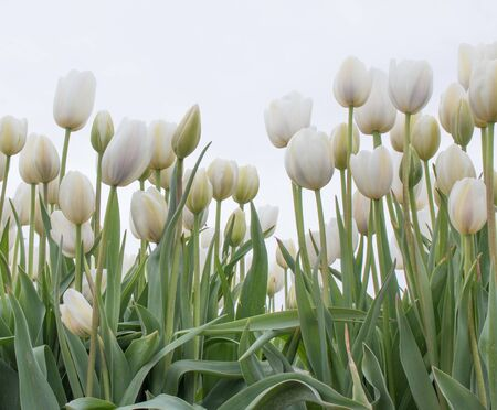 White tulips in a field