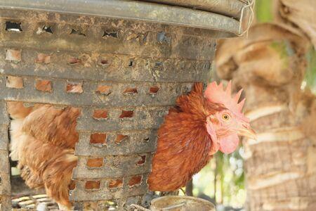 Rhode Island Red Hens. Egg chicken. Modern agriculture, raise chickens in a basket then chicken dung as fertilizer for coconut trees Standard-Bild - 133869825