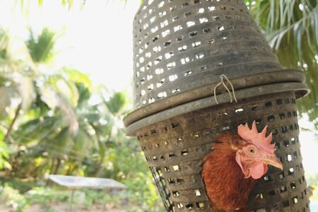 Rhode Island Red Hens. Egg chicken. Modern agriculture, raise chickens in a basket then chicken dung as fertilizer for coconut trees Standard-Bild - 133825883